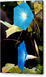 Morning Glories 1 Acrylic Print