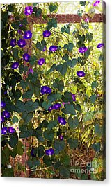 Morning Glories Acrylic Print by Margie Hurwich