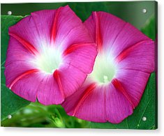 Acrylic Print featuring the photograph Morning Glories by Sheila Brown