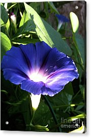 Morning Glorious Acrylic Print