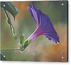 Morning Glory Acrylic Print by Alecia Underhill