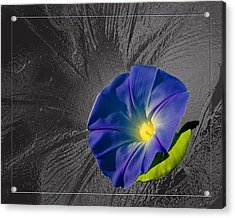 Morning Glory Acrylic Print by Robert Clayton