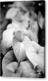 Morning Glory Vines Acrylic Print