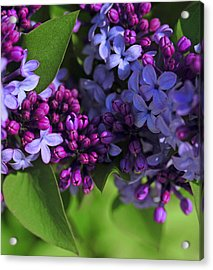 Morning Lilacs Acrylic Print