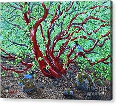 Morning Manzanita Acrylic Print by Laura Iverson