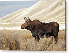 Morning Moose Acrylic Print