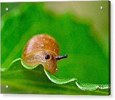 Morning Snail Acrylic Print