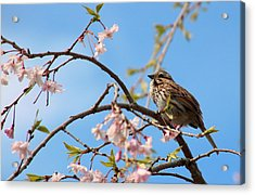Morning Song Sparrow Acrylic Print by Rosanne Jordan