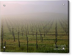 Morning Vineyard Acrylic Print
