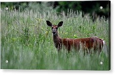 Morninng Deer Acrylic Print