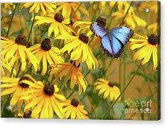 Morpho Butterfly Acrylic Print