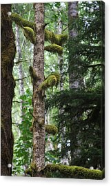 Moss-draped Trees On Tiger Mountain Wt Usa Acrylic Print by Christine Till