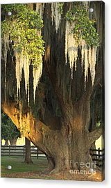 Moss Tree Acrylic Print by Jeanne  Woods