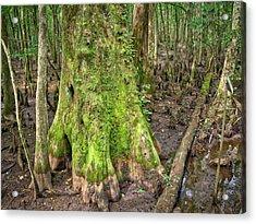 Mossy Cypress Acrylic Print