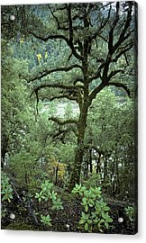 Mossy Tree On The River Acrylic Print by Charlie Osborn