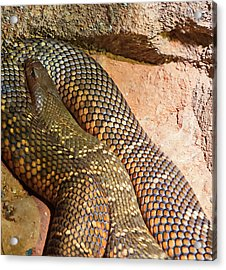 Acrylic Print featuring the photograph Most Venomous Snake  by Miroslava Jurcik