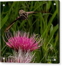 Moth 1 Acrylic Print
