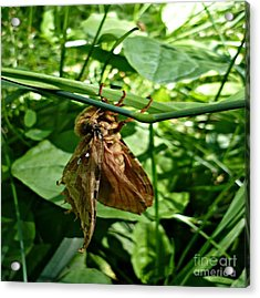 Moth At Rest Acrylic Print