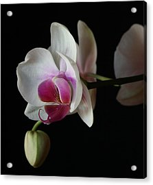 Acrylic Print featuring the photograph Moth Orchid 1 by Marna Edwards Flavell