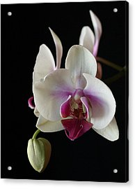 Moth Orchid 2 Acrylic Print by Marna Edwards Flavell