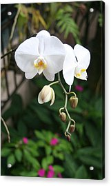 Acrylic Print featuring the photograph Moth Orchids by The Art of Alice Terrill