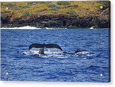 Mother And Calf Whaletails Acrylic Print