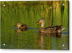 Acrylic Print featuring the photograph Mother And Child Mallards by Jean Noren