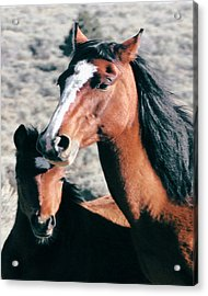 Mother And Colt Wild Acrylic Print