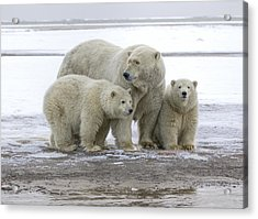 Mother And Cubs In The Arctic Acrylic Print