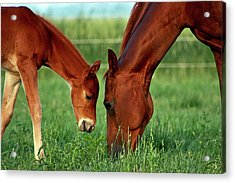 Mother And Foal 3377 H_2 Acrylic Print