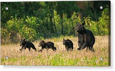 Mother Black Bear And Three Cubs 7006 Acrylic Print by Dan Beauvais