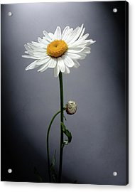 Mother Daisy Acrylic Print