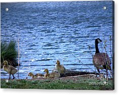 Mother Goose And Goslings Acrylic Print by Bobbee Rickard