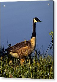 Mother Goose Acrylic Print by Bruce Gilbert