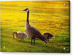 Mother Goose Color Acrylic Print by Camille Lopez