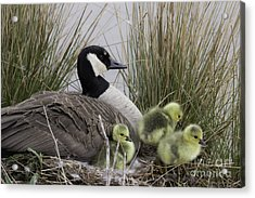 Mother Goose Acrylic Print by Jeannette Hunt