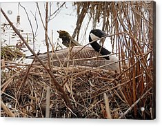 Mother Goose Nesting Acrylic Print by Lj White
