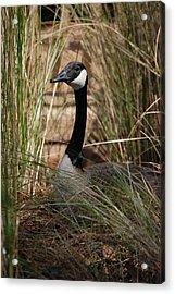 Mother Goose Acrylic Print by Nikki Taylor