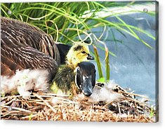 Mother Goose With Newborn Gosling  Acrylic Print by Vizual Studio