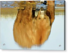 Mother Grizzly Reflection Acrylic Print