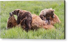Mother Grizzly Suckling Twin Cubs Acrylic Print