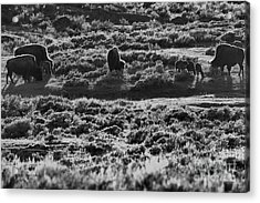 Mothers And Newborn Bison Black And White Acrylic Print by Adam Jewell