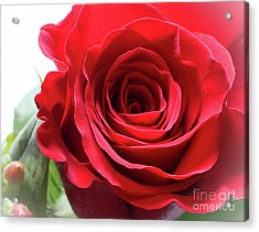 Mother's Day Rose Acrylic Print by Anita Oakley