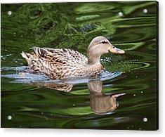 Mottled Duck Acrylic Print by Christine Savino