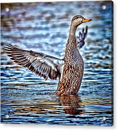 Mottled Duck Takeoff Acrylic Print