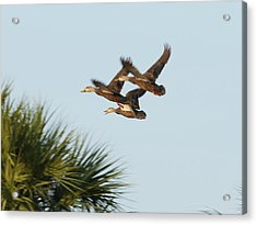 Acrylic Print featuring the photograph Mottled Ducks Take Flight by Lynda Dawson-Youngclaus