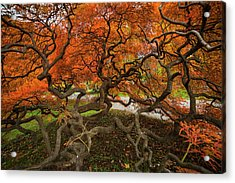 Mount Auburn Cemetery Beautiful Japanese Maple Tree Orange Autumn Colors Branches Acrylic Print