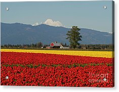 Mount Baker Skagit Valley Tulip Festival Barn Acrylic Print