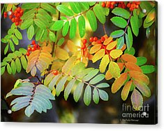 Mountain Ash Fall Color Acrylic Print