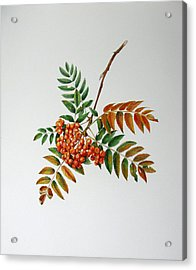 Mountain Ash  Acrylic Print by Margit Sampogna